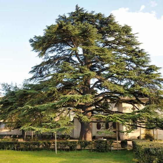 Cedro del Libano – Spoleto, villa Redenta