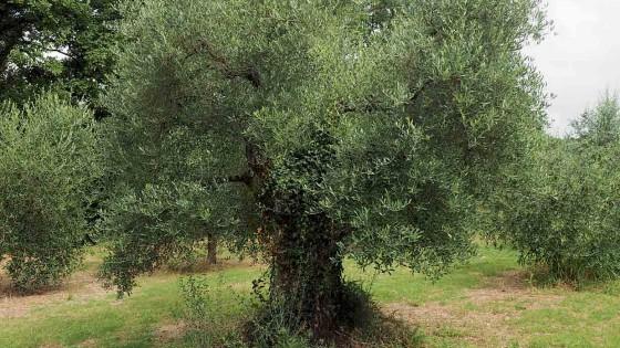 Olivo - Massa Martana, La Pace