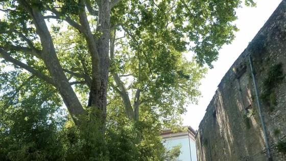 Platano comune - Spoleto, largo Fratelli Cairoli, palazzo Marignoli