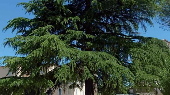 Cedro dell'Himalaya - Spoleto, piazza della Signoria, giardini pubblici (1)