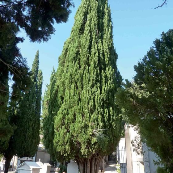 Cipresso comune - Spoleto, cimitero monumentale
