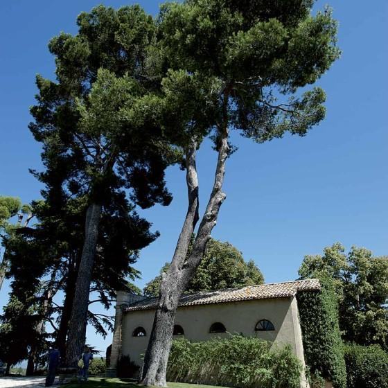 Pino d'Aleppo - Montefalco, San Marco