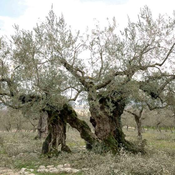Olivo - Giano dell'Umbria, Casariccio