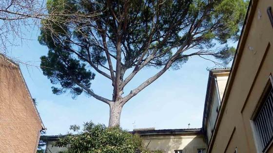 Pino domestico - Spoleto, viale G. Matteotti