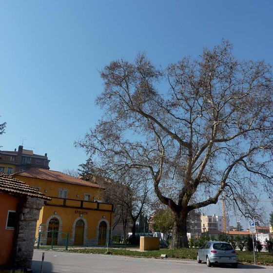 Platano comune - Spoleto, via Fratelli Cervi, ex stazione Spoleto-Norcia