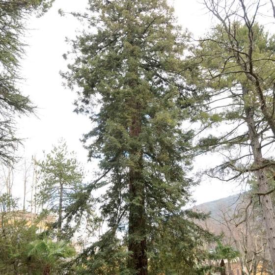 Sequoia – Spoleto, viale G. Matteotti, Casina dell'Ippocastano