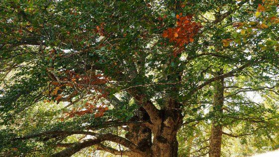 Campello sul Clitunno, fonte Morigo, faggio (2) [Foto di Giampaolo Filippucci, Tiziana Ravagli]