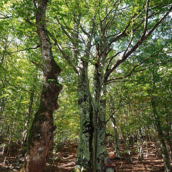 Campello sul Clitunno, fonte Morigo, faggio (1) [Foto di Giampaolo Filippucci, Tiziana Ravagli]