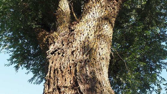 Salix alba, salice (1), Foligno, Colfiorito