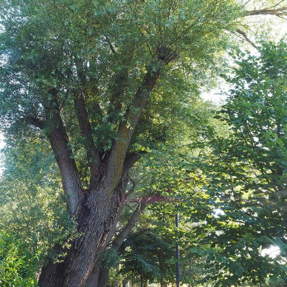 Salix alba, salici, Foligno, Colfiorito