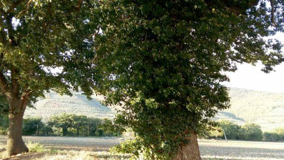 Roverella, Spello, via Banche