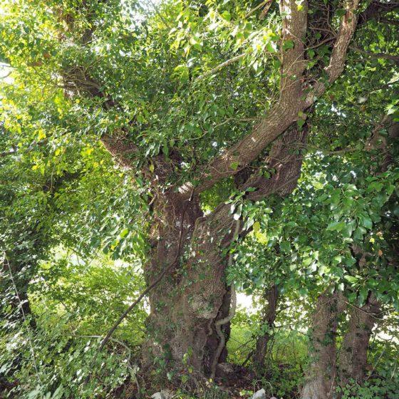 Acero campestre (1), Nocera Umbra, Sorifa [foto di Giampaolo Filippucci & Tiziana Ravagli]