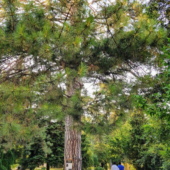 Parco Italia, giardini pubblici di Cividale del Friuli, ben in evidenza il monumentale pino nero laricio