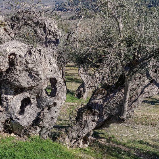 Licina, Olivi
