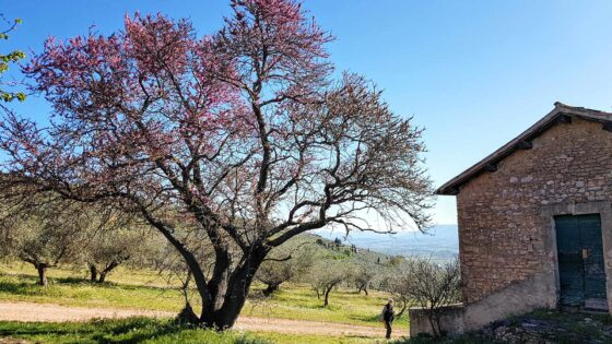 Siliquastro, albero di Giuda, Foligno, Carpello