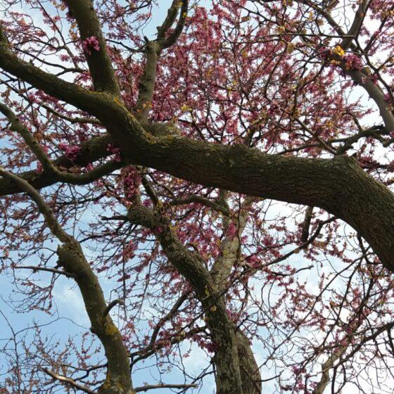 Siliquastro, albero di Giuda, Foligno, Carpello (particolare, foto di Biancarita Eleuteri)