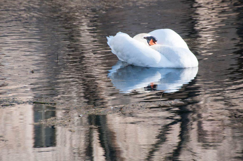 Un cigno reale alle Fonti del Clitunno - Foto di Giampaolo Filippucci, Tiziana Ravagli