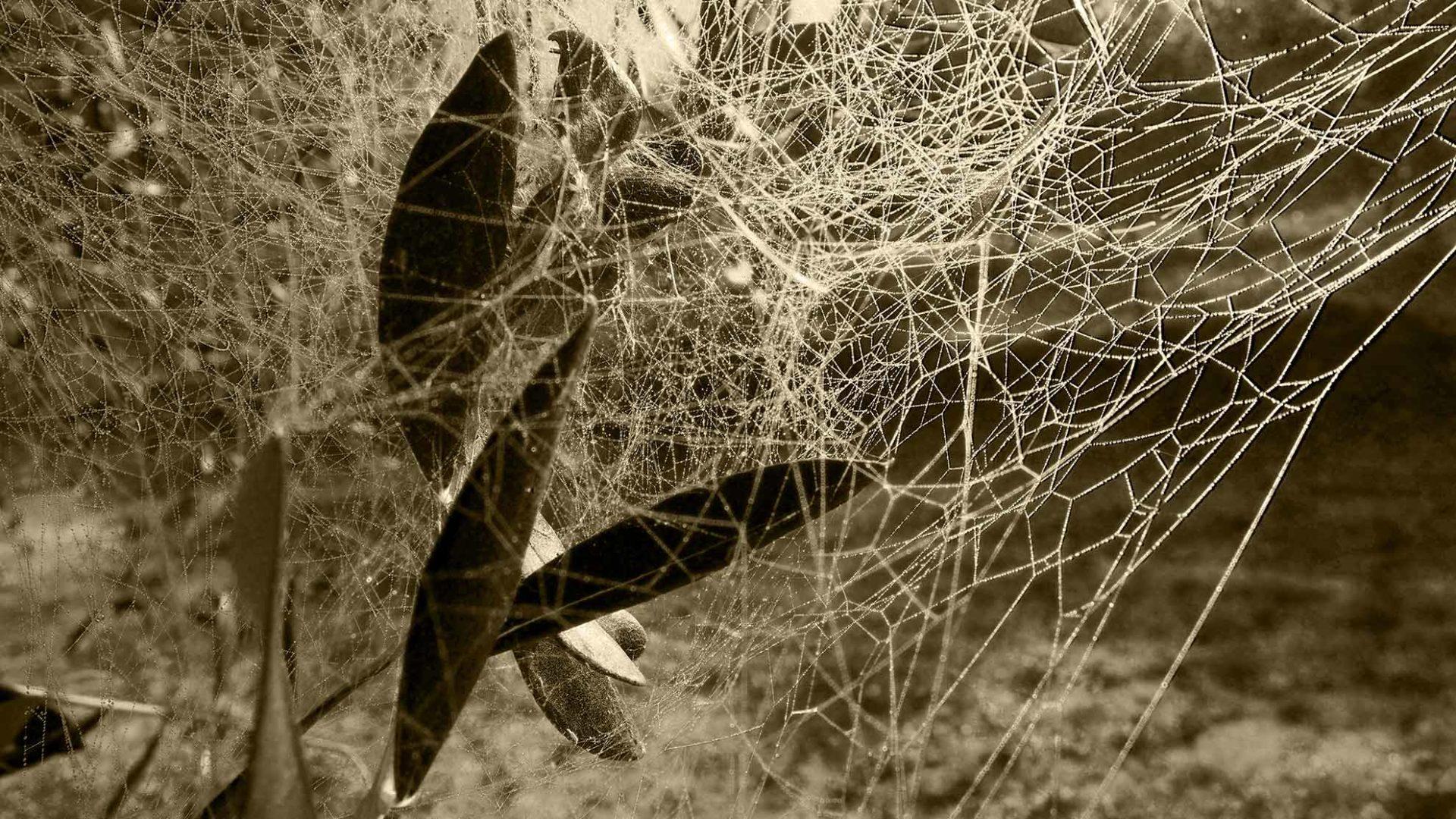 La rugiada bagna la tela del ragno tra le foglie d'olivo