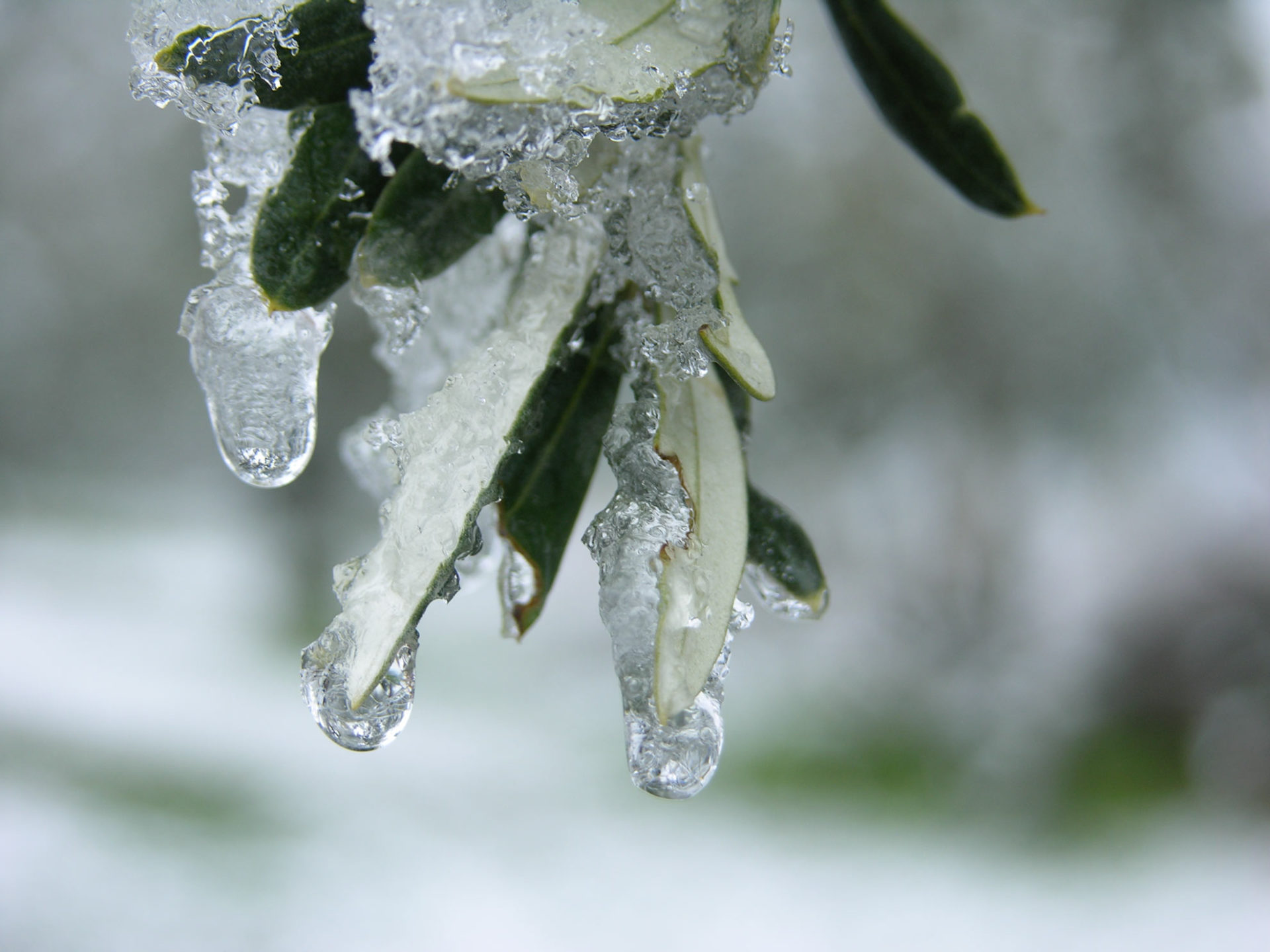 Ricami di ghiaccio tra le foglie d'olivo