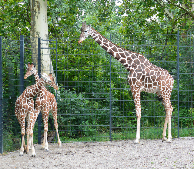 Giraffa allo zoo - photo credit: Alois Staudacher via photopin cc