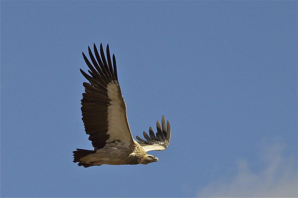 Avvoltoio - photo PIN [ [photo credit: Martha de Jong-Lantink via photopin cc]]