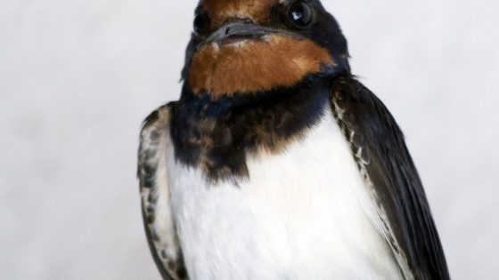 Rondine [photo credit: Barn Swallow via photopin (license)]