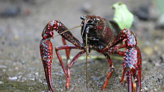 Gambero rosso della Louisiana (Procambarus clarkii) [Di Nessun autore leggibile automaticamente. MikeMurphy presunto (secondo quanto affermano i diritti d'autore) - Presunta opera propria (secondo quanto affermano i diritti d'autore)., Pubblico dominio, https://commons.wikimedia.org/w/index.php?curid=1179396]