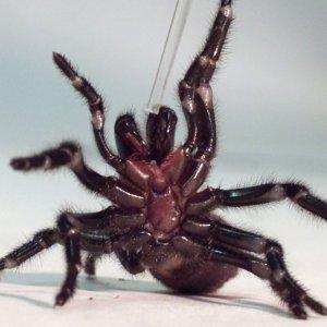 Il ragno Hadronyche infensa, da www.repubblica.it