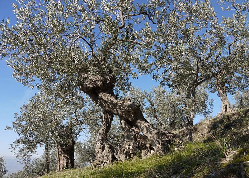 Un antico ulivo (foto G. Filippucci & T. Ravagli@Trevi)