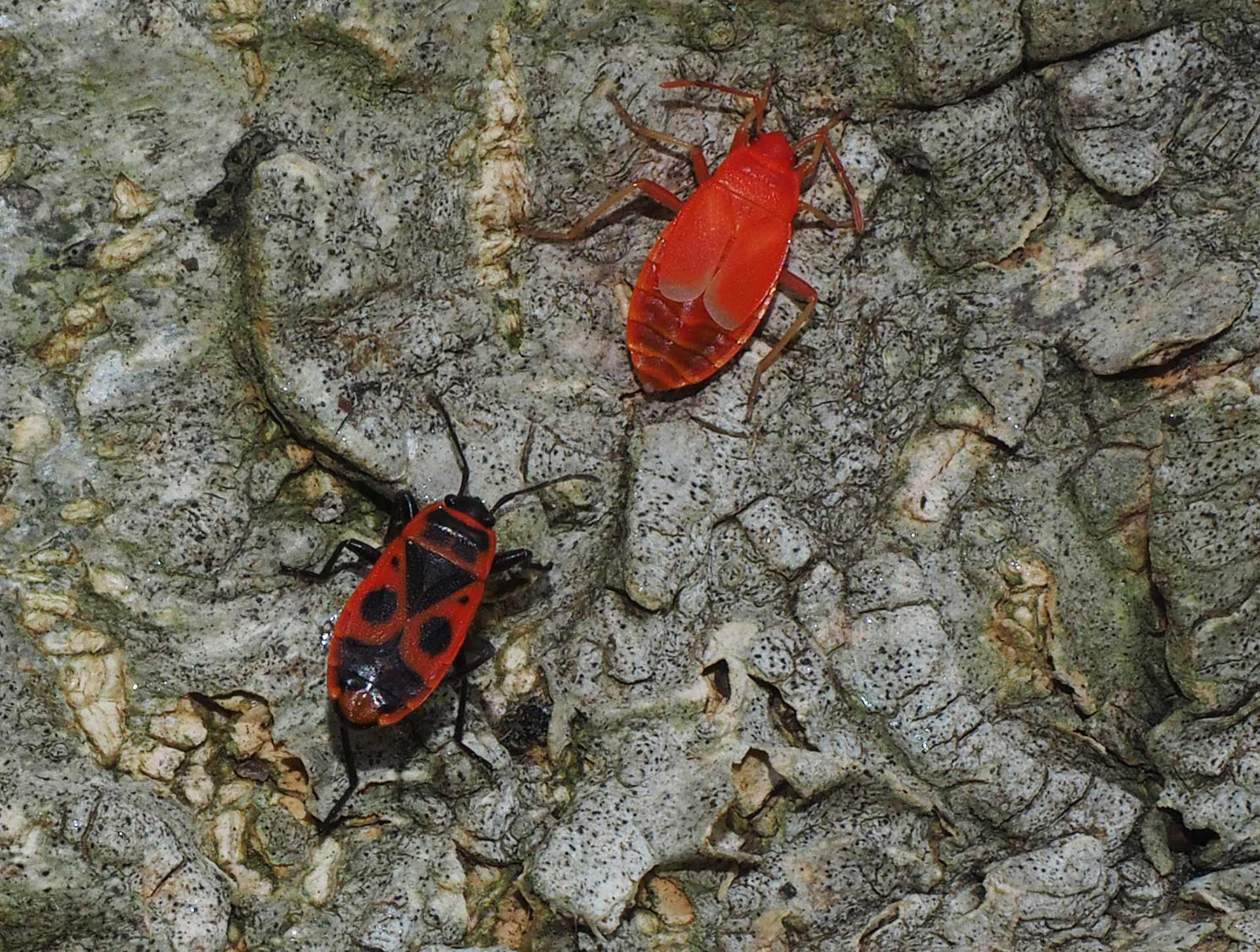 La cimice rosso nera una presenza frequente nei nostri for Cimice insetto