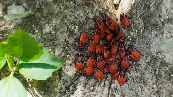 Ninfe di cimice rosso nera (Pyrrhocoris apterus)