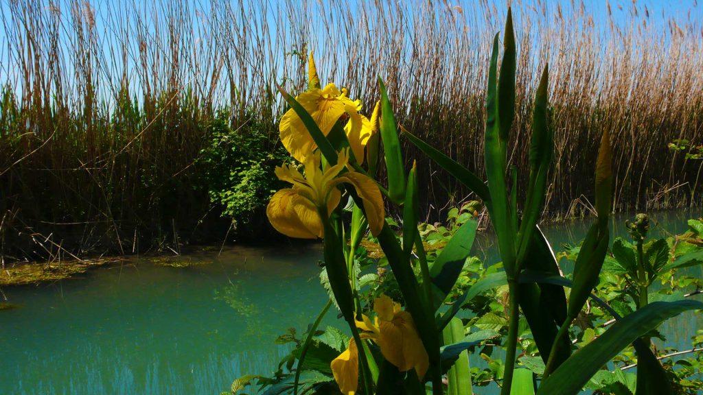 Iris gallo, lungo il fiume Clitunno