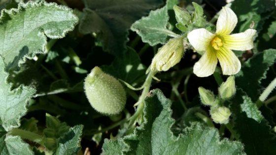 Cocomero asinino, sputaveleno