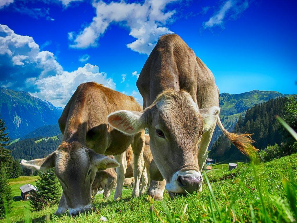 Mucche al pascolo, allevamento di bovini [foto di TheDigitalArtist, via pixabay, CC0 Creative Commons, libera per usi commerciali, attribuzione non richiesta]