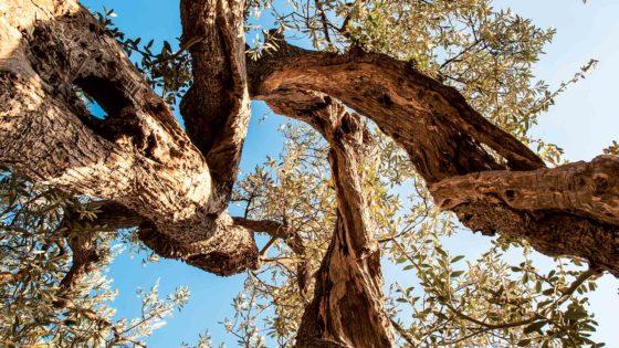 Un antico olivo (lungo la strada dei condotti, a Trevi) - Foto di Giampaolo Filippucci & Tiziana Ravagli