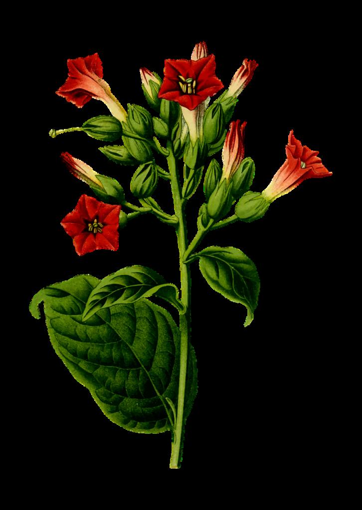 Tabacco [immagine via pixabay, CC0 Creative Commons, libera per usi commerciali, attribuzione non richiesta]